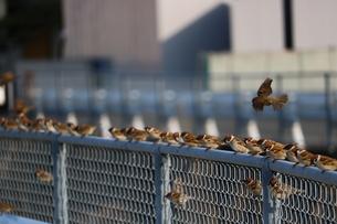 フェンスのスズメの写真素材 [FYI00602756]
