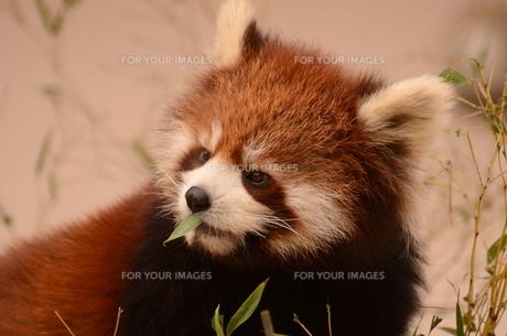 レッサーパンダの写真素材 [FYI00602798]