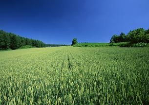 麦畑の写真素材 [FYI00603026]