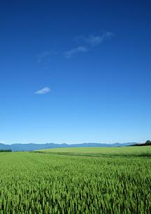 麦畑の写真素材 [FYI00603030]