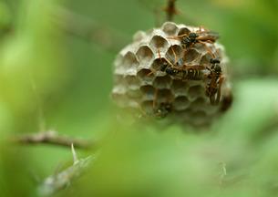 蜂の巣の写真素材 [FYI00603136]