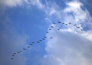 渡り鳥の写真素材 [FYI00603234]