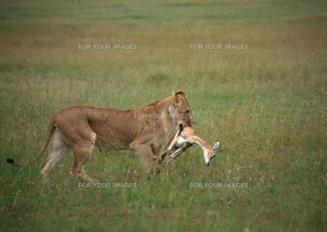 ライオンの素材 [FYI00603252]
