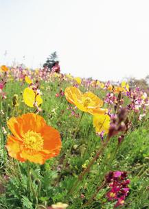 花畑の素材 [FYI00603307]