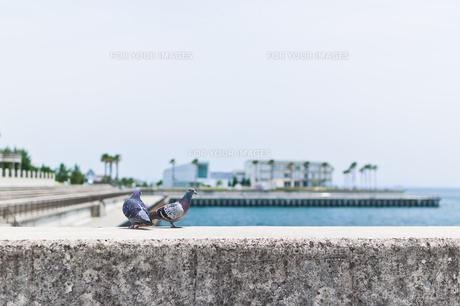 二匹の鳩の写真素材 [FYI00603590]