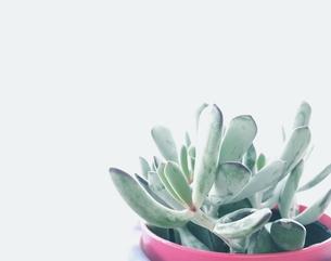 白バックの多肉植物の写真素材 [FYI00603882]