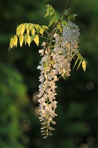 朝日に輝くふぃじの花の写真素材 [FYI00604044]