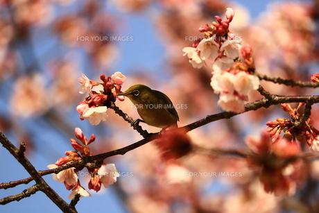 蜂須賀桜とメジロの写真素材 [FYI00604521]