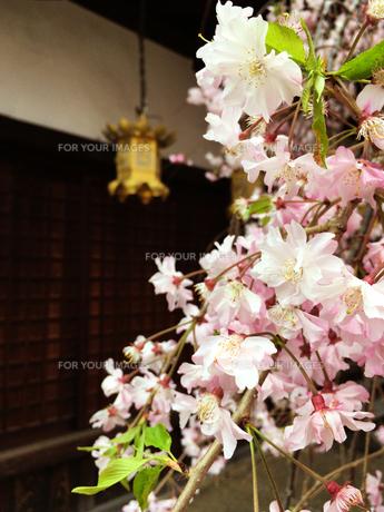桜の花と灯籠の写真素材 [FYI00604585]
