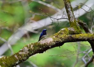 森林の枝に止まるオオルリの写真素材 [FYI00604682]