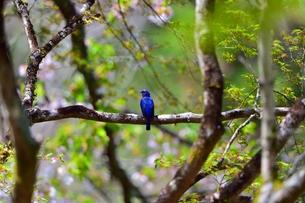 森林の中のオオルリの写真素材 [FYI00604683]