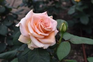 大阪中之島バラ園で見つけた薔薇マリリンモンローの写真素材 [FYI00604975]