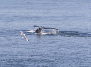 whaleの素材 [FYI00608379]