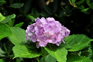 紫陽花の写真素材 [FYI00613228]