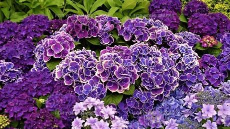 紫色のアジサイの写真素材 [FYI00613432]