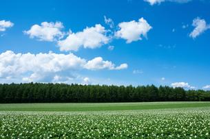 白い花をつけたジャガイモ畑と夏空の写真素材 [FYI00613589]