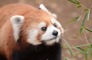 レッサーパンダの写真素材 [FYI00614093]