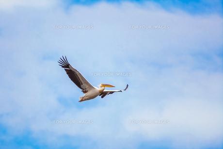 pelicanの写真素材 [FYI00615280]