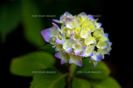 紫陽花の写真素材 [FYI00618209]