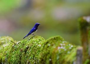緑の苔が生えた欄干に止まるオオルリの写真素材 [FYI00618960]