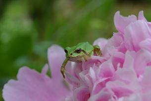 花とカエルの写真素材 [FYI00618980]