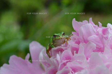 花とカエルの写真素材 [FYI00618981]