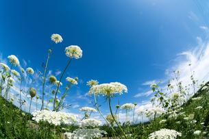 夏の青い空と白い野の花の写真素材 [FYI00619286]