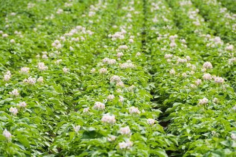 薄紫の花をつけたジャガイモ畑の写真素材 [FYI00619290]