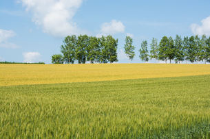 二色に色づいたムギ畑とシラカバ並木の写真素材 [FYI00619291]
