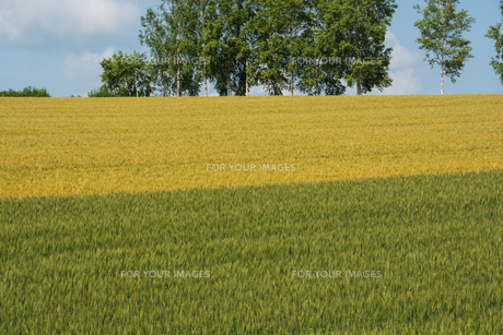 二色に色づいたムギ畑とシラカバ並木の写真素材 [FYI00619293]