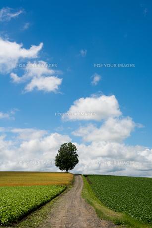 畑の中を通る砂利道と夏の空の写真素材 [FYI00619299]