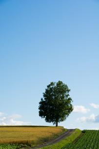 畑の中に立つ白樺の写真素材 [FYI00619300]