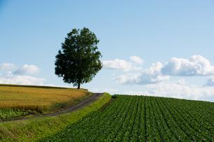畑の中に立つ白樺の木の写真素材 [FYI00619301]