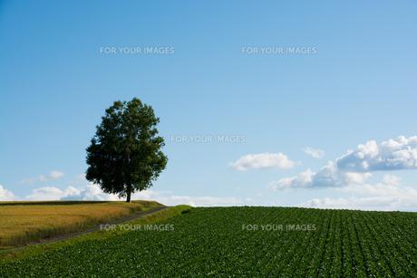 夏空と畑の中に立つシラカバの写真素材 [FYI00619303]