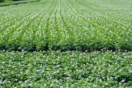 夏のジャガイモ畑の写真素材 [FYI00619309]