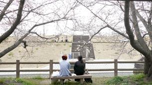 サクラ日和の写真素材 [FYI00619474]