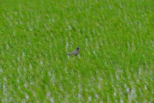 田んぼの真ん中にツルシギが居ますの写真素材 [FYI00619658]