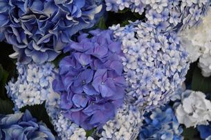 紫陽花ブルー万華鏡とホットチボリの響宴の写真素材 [FYI00619667]