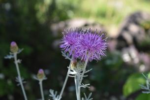 シルバーリーフの銀色と紫が上品さを感じるセントーレアギムノカルパの写真素材 [FYI00619669]