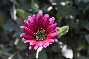 花芯が黒なので雄しべが金色に見えるオステオスペルマムの写真素材 [FYI00619670]