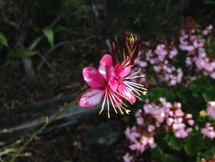 アドプトロード前島でピンクのハクチョウソウを見つけるの写真素材 [FYI00619674]