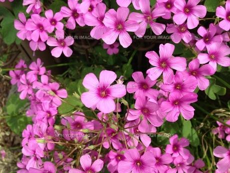 もう草とは言わせない沢山咲けばとても綺麗ムラサキカタバミの写真素材 [FYI00619677]