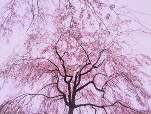 桜の写真素材 [FYI00619830]