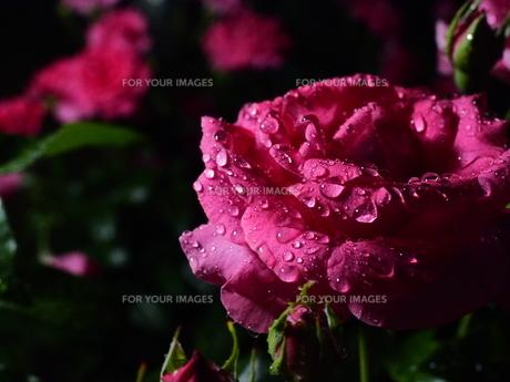 ピンクの薔薇の写真素材 [FYI00619834]
