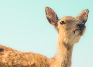 青空と鹿の写真素材 [FYI00619840]