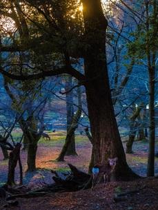 奈良の子鹿の写真素材 [FYI00619915]