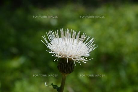 白いアザミの写真素材 [FYI00620193]