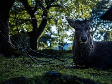 奈良の鹿の写真素材 [FYI00620204]