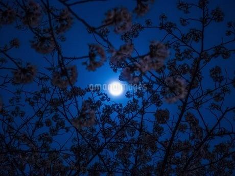 夜桜のシルエットの写真素材 [FYI00620232]