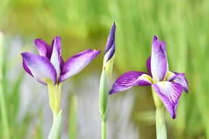 菖蒲の花の写真素材 [FYI00620397]